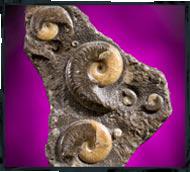 ammonite photography